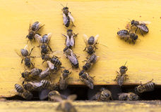 Honey bees in yellow beehive Royalty Free Stock Photo