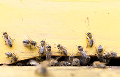 Honey bees in yellow beehive Stock Images
