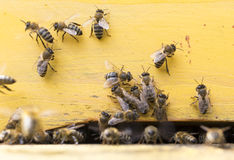 Honey bees in yellow beehive Royalty Free Stock Images