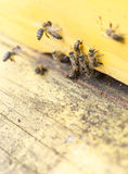 Honey bees in yellow beehive Stock Photography