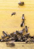 Honey bees in yellow beehive Stock Image