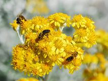 Honey bees on yellow flowers. Macro of three honey bees on yellow senecio flowers Royalty Free Stock Image