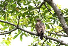Honey Buzzard royalty-vrije stock foto
