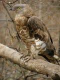 Honey buzzard. (Pernis apivorus) in zoo Stock Image