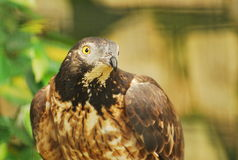 Honey Buzzard Stock Images