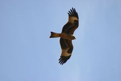 Honey Buzzard stock foto