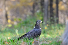 Honey Buzzard dichtbij de herfstbos stock fotografie