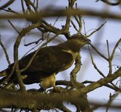 Honey Buzzard - Donkere Fase stock foto's