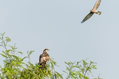 Honey Buzzard e shikra orientali Fotografia Stock