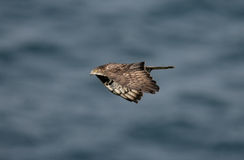 Honey buzzard, Pernis apivorus Royalty Free Stock Photos