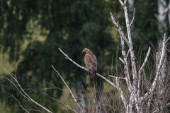 Honey buzzard, Pernis apivorus Stock Image