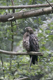 Honey buzzard, Pernis apivorus Stock Photography