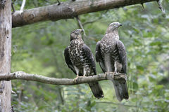 Honey buzzard, Pernis apivorus Royalty Free Stock Photography