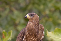 Honey Buzzard Portrait stock foto's