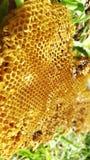 Honey cells on tree Stock Photo