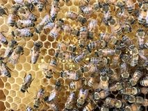 Honey. Close up bees crawl on honeycomb in apiary. agriculture, apiary, apiarist, apiculture, bee, beehive, beeswax, cell, closeup, comb, delicious, detail, diet royalty free stock photo