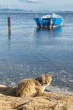 Honey-colored cat is waiting on the shore. A honey-colored cat is waiting on the shore fishermen to get some fish to eat Royalty Free Stock Photography