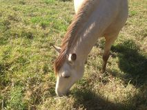 Honey Coloured horse in QLD Royalty Free Stock Photo