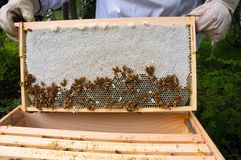 Honey Comb from an active hive. A frame from a Langstroth hive showing honeycomb and bees Stock Photography