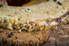 Honey comb with bee larvae Stock Image