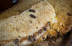 Honey comb with bee larvae Stock Photo