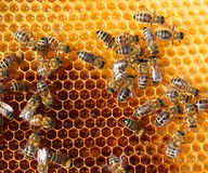 Honey comb and a bees Stock Photo