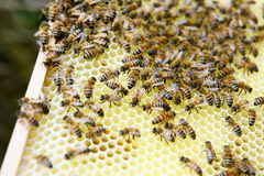 Honey comb and bees of a beekeeper royalty free stock photography