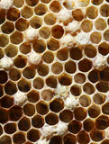 Honey comb with bees larva inside Royalty Free Stock Photo