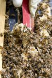 Colony of Honey Bees stock images
