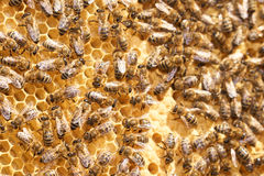 Honey comb with many bees Stock Photo