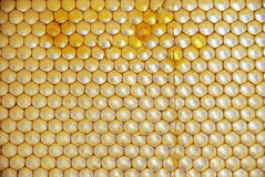 Honey Comb with pollen Royalty Free Stock Photo