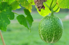 Honey dew melon Stock Image