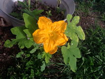 Honey Dew Pumpkin Squash Flower Lizenzfreies Stockbild