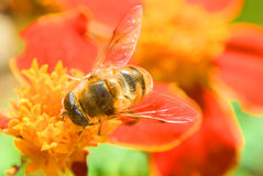 Honey, don`t forget flowers. Bee on the red flower Stock Image