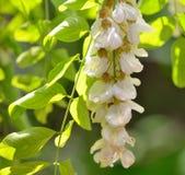 Honey drops  with acacia blossoms Royalty Free Stock Photo