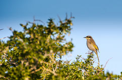 Honey Eater. A honey eater bird perched on a thorny bush Royalty Free Stock Photos