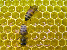 Honey Factory. The bees make the nectar into honey. They recruited him into the body and enrich the enzymes Stock Images