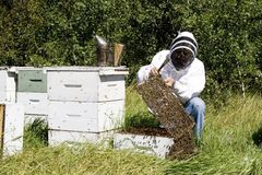 Honey Farmer. A honey farmer holding up a frame from a bee hive covered in bees stock images