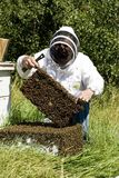 Honey Farmer. A honey farmer holding up a frame from a bee hive covered in bees Royalty Free Stock Photos