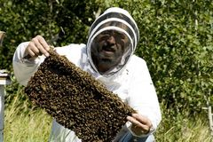 Honey Farmer. A honey farmer holding up a frame from a bee hive covered in bees royalty free stock images