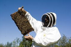 Honey Farmer. A honey farmer holding up a frame from a bee hive covered in bees stock photography