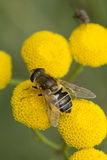 Honey Fly Fotografía de archivo libre de regalías