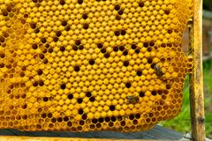 Honey frame with honey and bee larvae close-up. Beekeeping and apiary. Selective focus. Horizontal frame stock photos