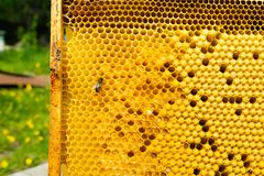 Honey frame with honey and bee larvae close-up. Beekeeping and apiary. Selective focus. Horizontal frame stock image