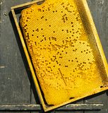 Honey frame with honey and bee larvae close-up. Beekeeping and apiary. Selective focus. Square frame royalty free stock image