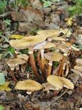 Honey Fungus Fotografía de archivo libre de regalías