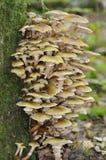 Honey Fungus Imagenes de archivo