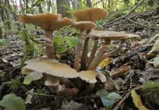 Honey Fungus Imágenes de archivo libres de regalías