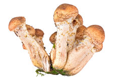 Honey fungus, or Armillaria or оpenky Royalty Free Stock Photography