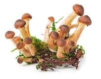 Honey fungus. Armillaria, Honey fungus, Honey agarics isolated on white backgrounds Stock Photography